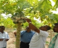 Management of mealy bug in papaya