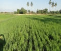 SEMI DRY METHOD OF RICE CULTIVATION